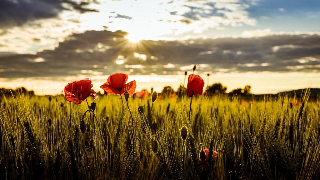 Mohnblumen im Sonnenuntergang #1
