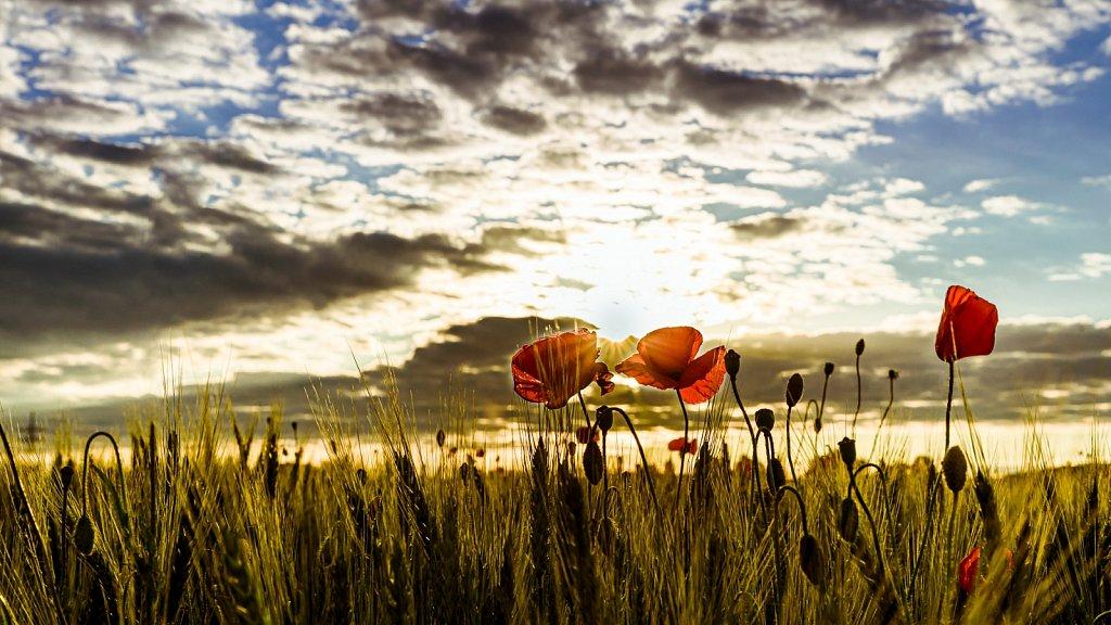 Mohnblumen im Sonnenuntergang #5