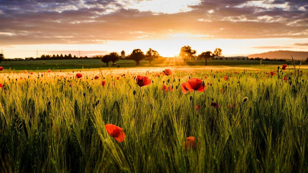 Mohnblumen im Sonnenuntergang #6